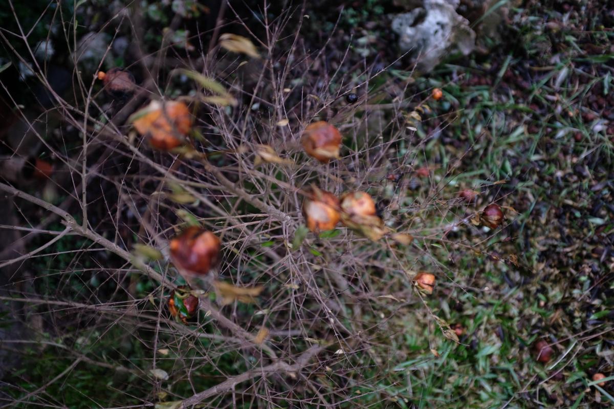 #garden #melograno #winter #x100f #fujifilm #jpg